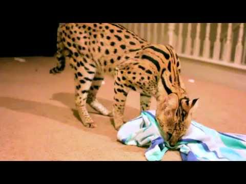 Serval Cat Playing By Himself!