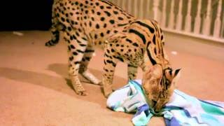 Serval Cat Playing By Himself! FUNNY and CUTE!