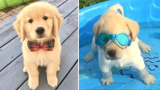 Funniest & Cutest Golden Retriever Puppies #12 Funny Puppy Videos 2020