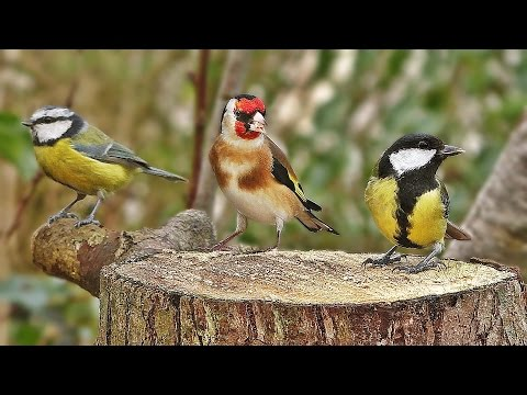 Bird Sounds Spectacular : Morning Bird Song