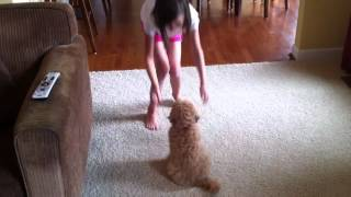 10 Week Old Mini Goldendoodle Puppy Training