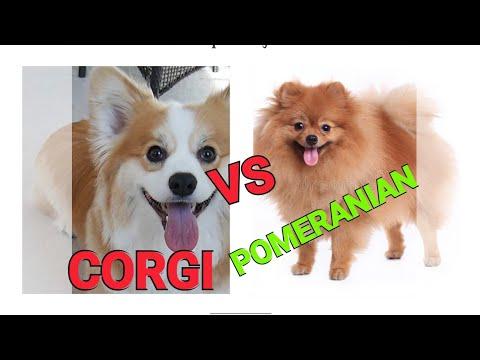 Corgi vs Pomeranian dog.