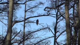 Bald Eagles at Reelfoot Lake in West Tennessee