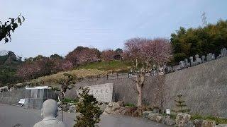 愛媛県松山市松山中央霊園の桜中継🌸 中川 美博 なかがわよしひろ