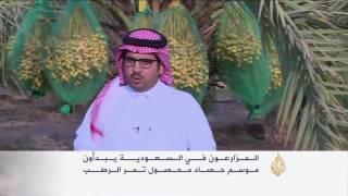 بدء موسم جني التمور في السعودية