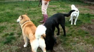一番若いソラ君(北海道犬)が一番元気! かい(北海道犬)とガクちゃん...