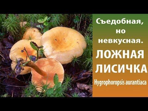 Съедобная, но невкусная. Ложная лисичка - Hygrophoropsis Aurantiaca.