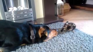 Собака просит маленького котенка поиграть с ним!