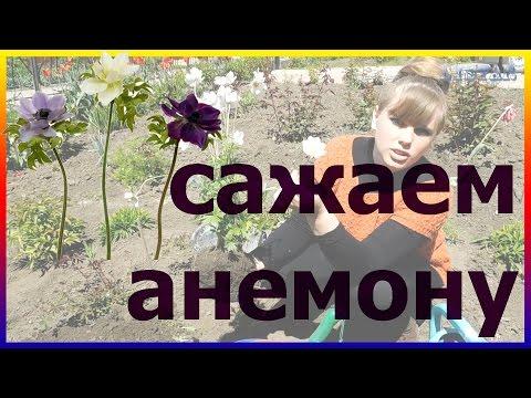 Анемона лесная посадка выращивание уход размножение. Как посадить анемону. Посадка анемоны.
