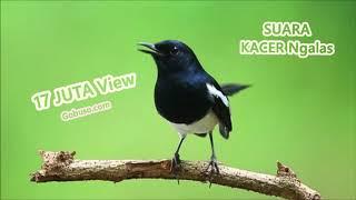 Download Lagu PANCINGAN! Suara Burung Kacer Poci Gacor Mp3   Copsychus Saularis mp3