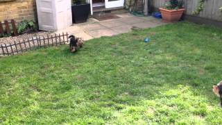 Australian Shepherd Attacked By A Yorkshire Terrier