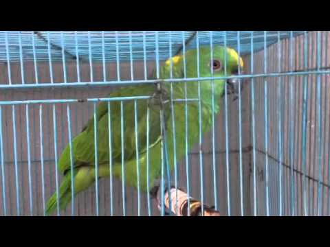 Yellow Napped Amazon Green Parrot for sale