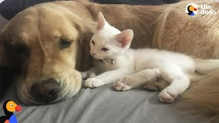 Spoiled Dog Welcomes Rescue Kitten Into Her Family | The Dodo thumbnail