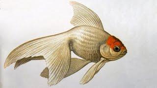 Золотая рыбка (Carassius auratus) - Аквариумные тропические рыбы № 8(Введение в раздел https://www.youtube.com/watch?v=shdZ0sT9i0g Сегодня мы говорим о золотых рыбках и смотрим на красивых телеск..., 2015-10-16T17:24:57.000Z)