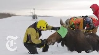 A Moose Mystery | The New York Times