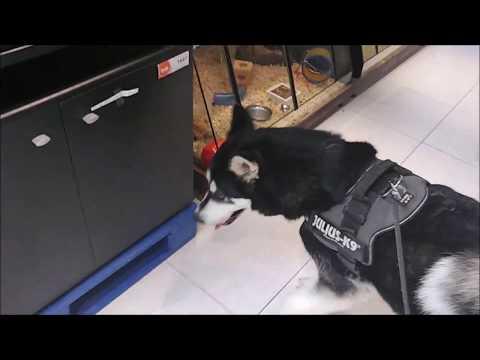Alaskan Malamute visits pet store and checks out animals