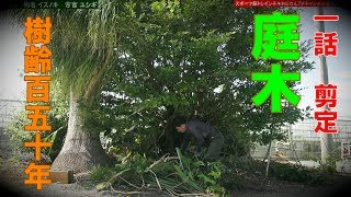 【庭木】ユシギの剪定!和名イスノキ
