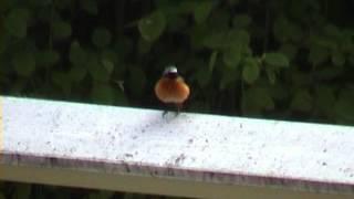 RÖDSTJÄRT  Common Redstart  (Phoenicurus phoenicurus) Klipp - 564  S - 20