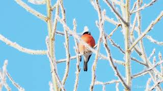 Eurasian bullfinches on tree branches with hoarfrost against blue sky