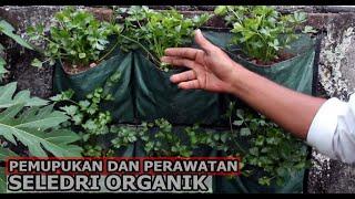 Pemupukan dan Perawatan Seledri Remaja // Seledri Organik