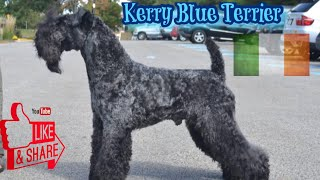Episode 84: Kerry Blue Terrier Youlia Anderson from PennTerra's Kerry Blue Terriers