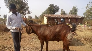 Village goat farm