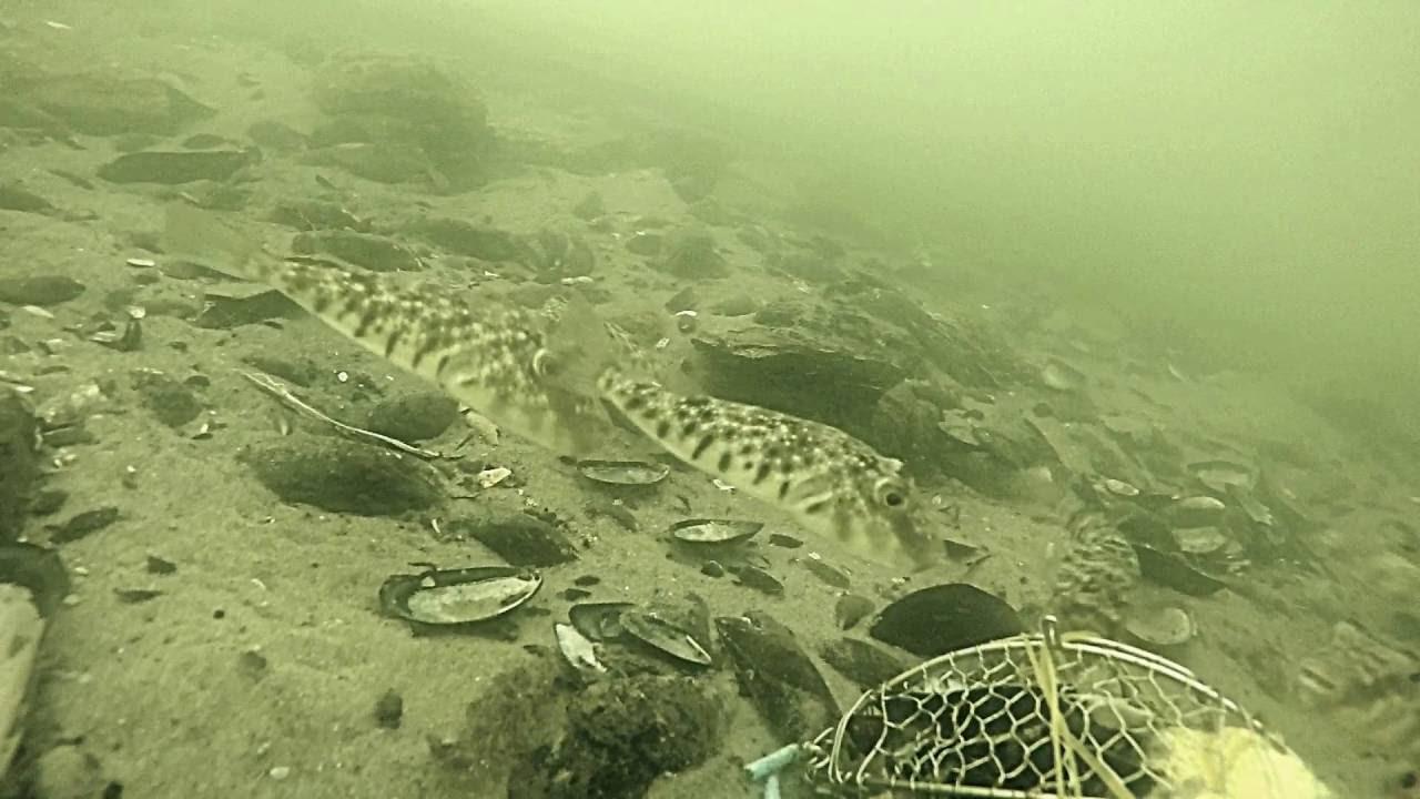 Blow fish and seabass at jones beach pier ny youtube for Jones beach fishing pier