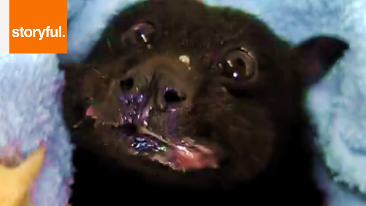 Fruit Bat Stuffing Face With Banana - YouTube