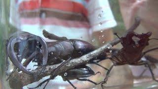 今年、初めてのカブトムシ採取。クワガタしかとれませんでした。