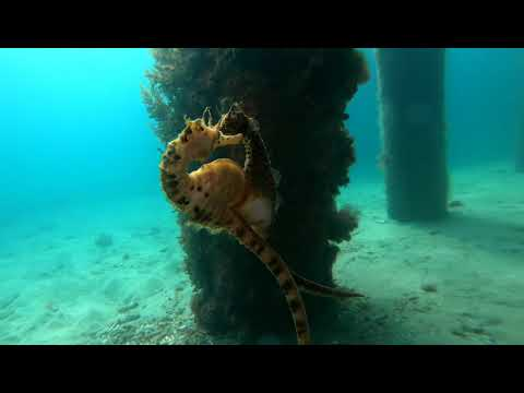 Modern Day Love Story: Female Seahorse Transfers Eggs To Male Partner