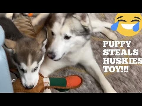 Puppy Steals Angry Huskies Toy & Its The Funniest Thing Ever! [TRY NOT TO LAUGH!]