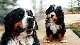 WEEK 7 PUPDATE! Life with 14 Bernese Mountain dogs! Ep. 8