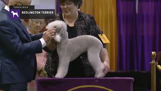 Bedlington Terriers | Breed Judging 2019