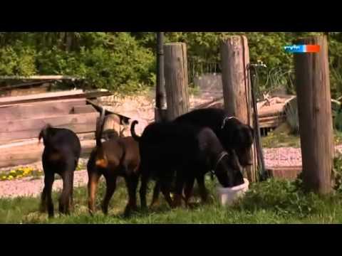 Dobermann - Der harte Hund aus Apolda - Doberman Documentation (with Subtitles).