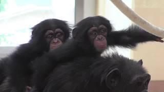 2018`9.6日 新チンパンジー舎がオープン 外展示、室内展示の二つのグル...
