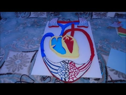 Project Blood Circulation Model With Thermocol