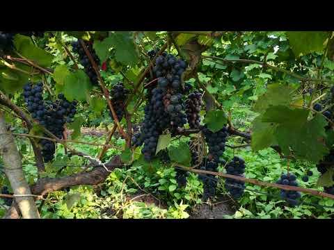 Как собрать виноград