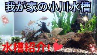 ご視聴ありがとうございます(*´ω`*) 今回は、我が家の小川水槽と呼ばれ...