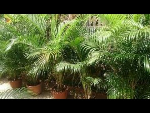 How To Grow Areca Palm In Hindi Youtube