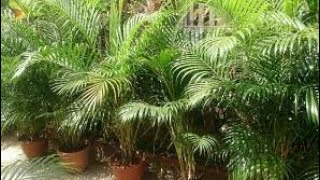 how to grow areca palm in hindi