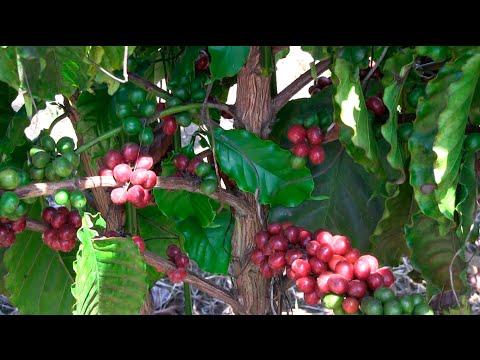El Cultivo de Café Robusta