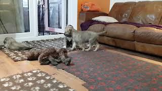 5 1/2 week old Irish Wolfhound Puppies