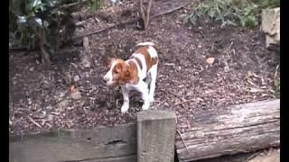 Ella the Welsh Springer Spaniel