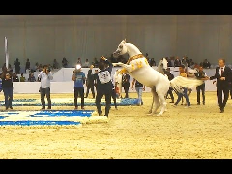 The Best Arabian Horse