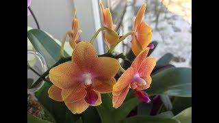 Расцвёли орхидеи лиодоро, бразе сара голд, сого релекс, сого юкидан👌🏻
