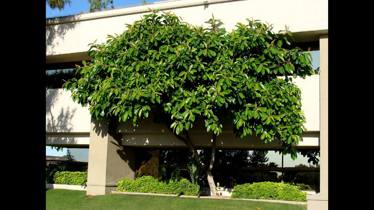 Ficus Plant Losing Leaves