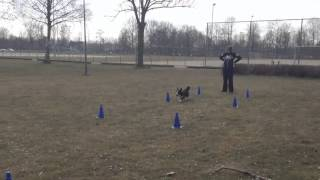 Training With James The Cardigan Welsh Corgi