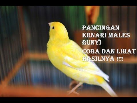 Download Lagu Pancingan Kenari Macet Bunyi Biar Gacor