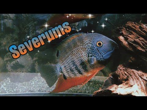 All Severum Fish Tank Something Everyone Should See.