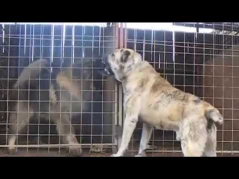 ALabai vs Caucasian Ovcharka Avengers of the dogs